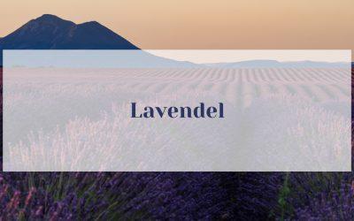 Lavendel – Lavandula angustifolia